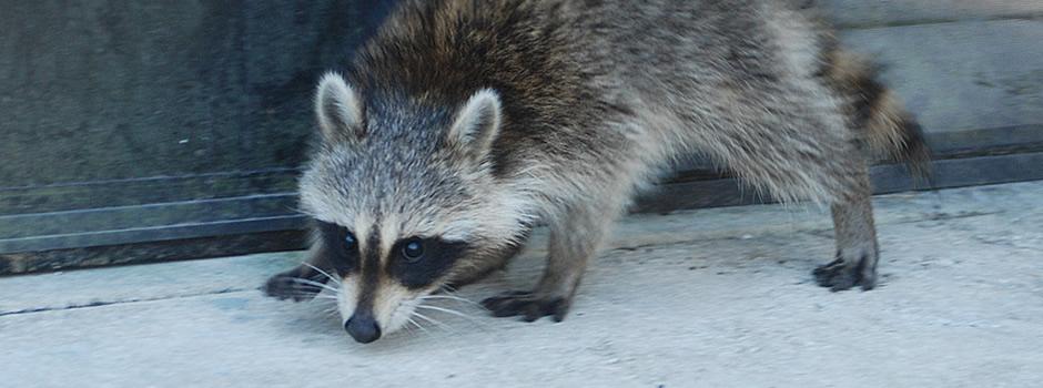 raccoon control Asbury Park