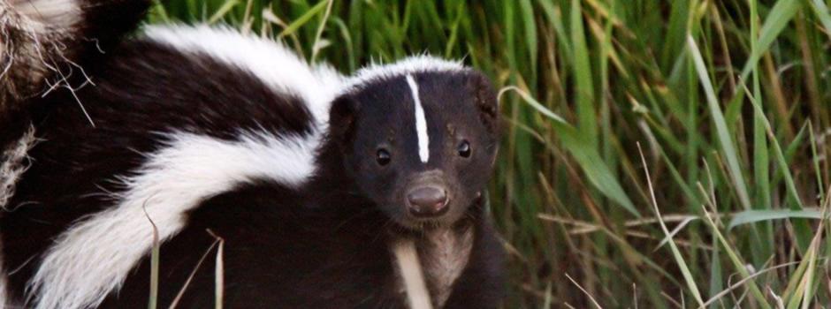 skunk control Asbury Park
